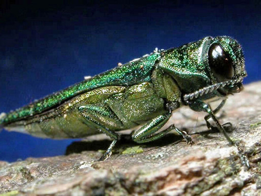 Big Bad Bug Blog – Episode #2: The Emerald Ash Borer