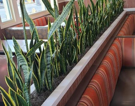 sansevieria laurentii at Dion's Restaurant in Aurora