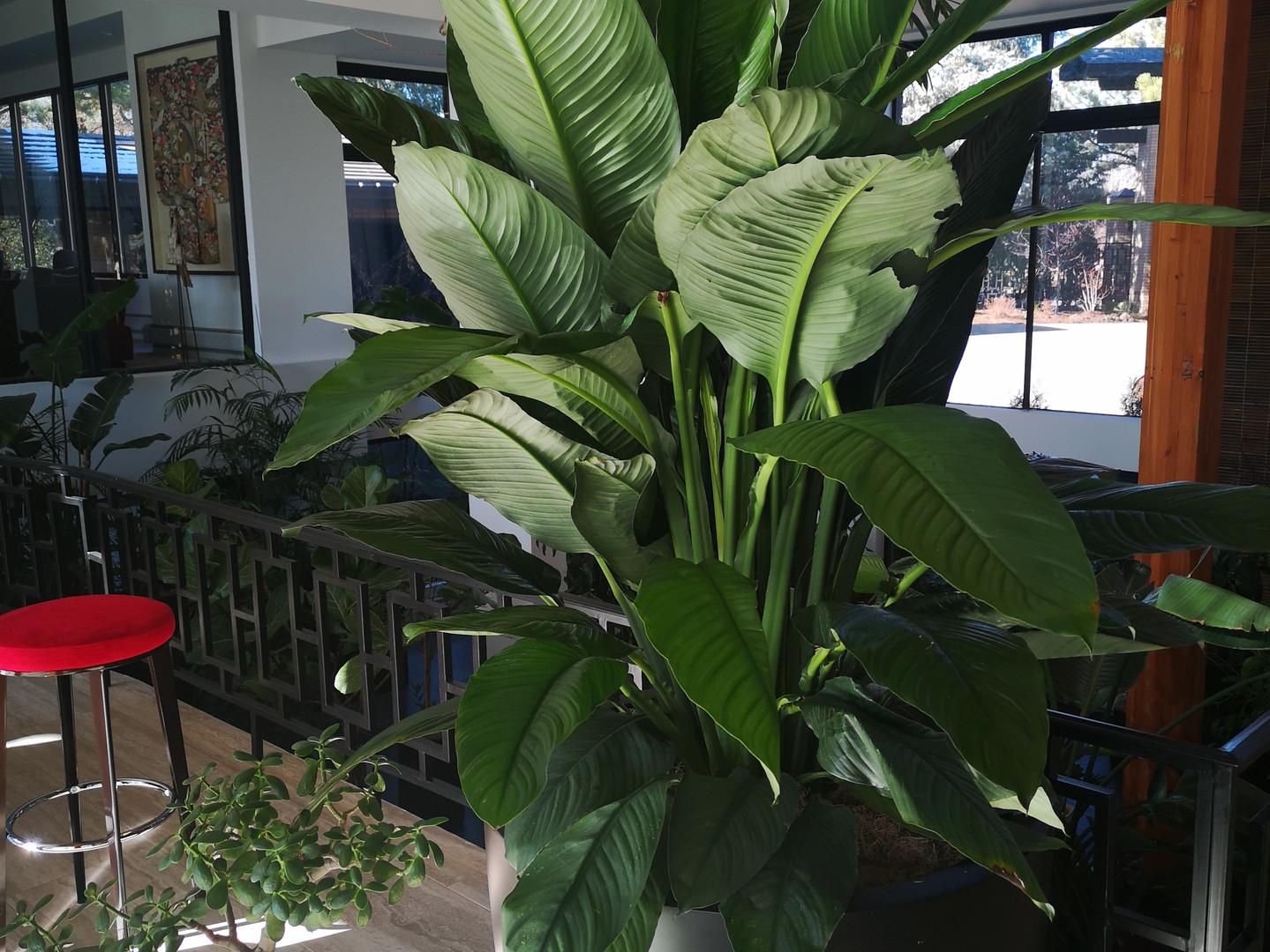 Spathiphyllum 'Sensation'