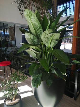 Spathiphyllum 'Sensation'.jpg