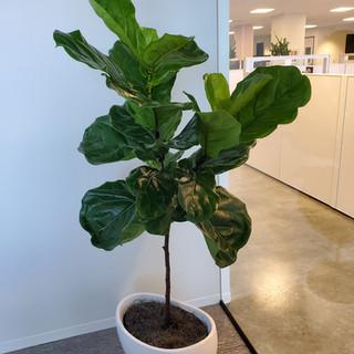 Ficus Lyrata _ IBEX Investors.jpg