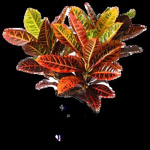 Croton%2520Petra_1_edited_edited.png