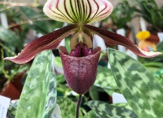 Paph purpuratum x fairrieanum