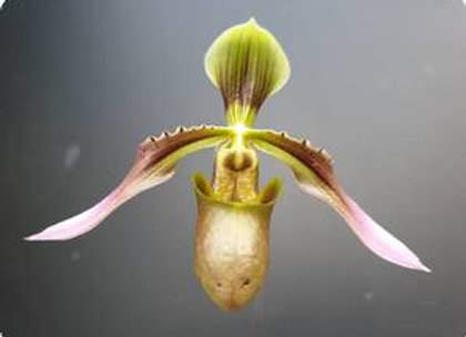 Paph wolterianum