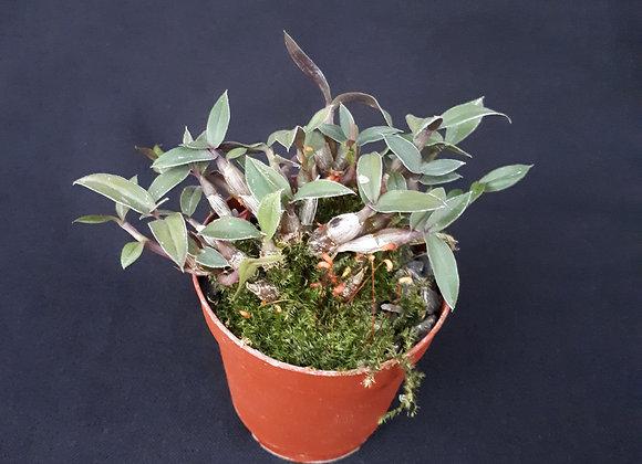 Dendrobium leucocyanum  x protractum