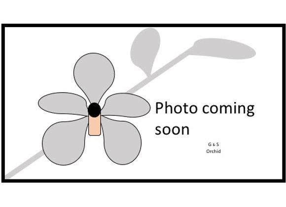 Stanhopea deltoidea