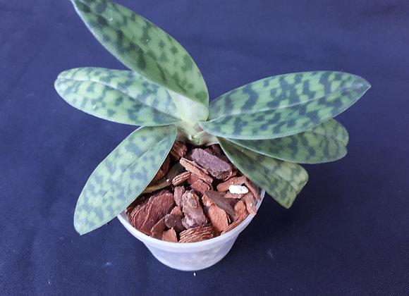 Paphiopedilum hookerae