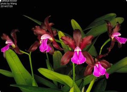 Cattleya bicolor var. grossi