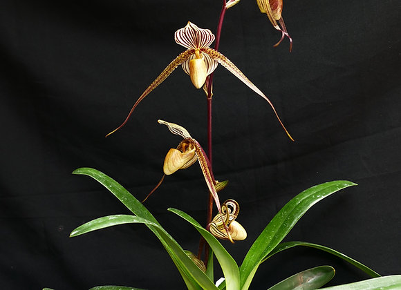 Paph St Swithin