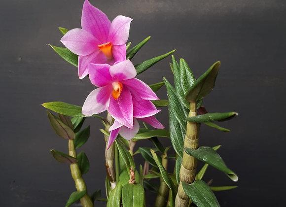 Dendrobium sulawesiense x cuthbertsonii