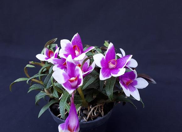 Dendrobium (cuthbertsonii x sulawsiense) x cuthbertsonii