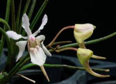 Holcoglossum lingulatum