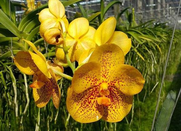 Vanda Pakchong gold x Pranerm Ornate