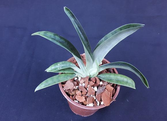 Paphiopedilum javanicum var virens