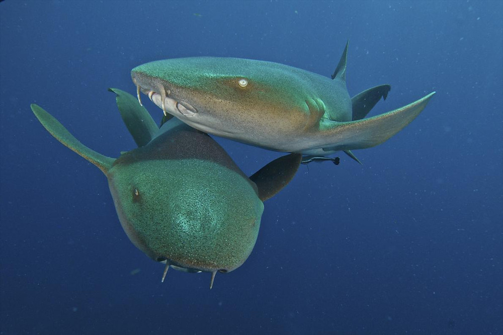 Nurse Shark- National Geographic