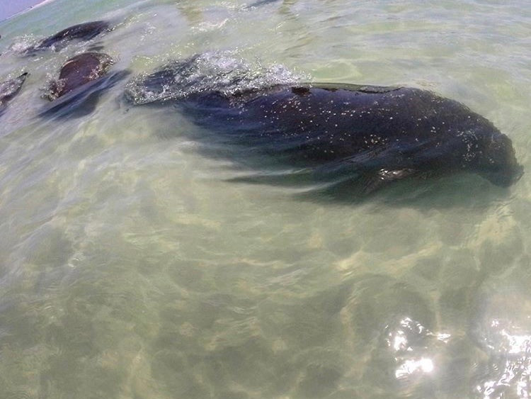Pod of manatees swimming along the shore of Anna Maria Island