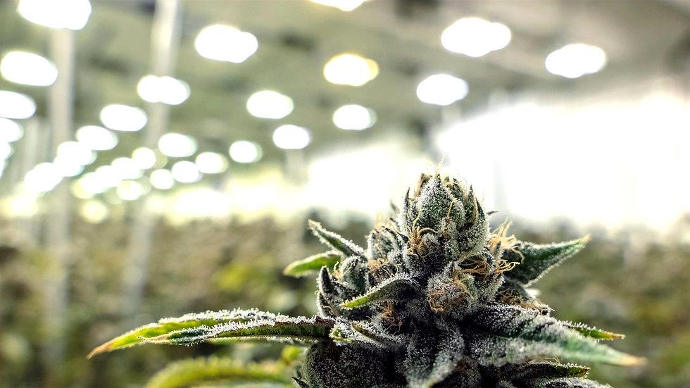 tokers-guide-cannabis-bud-indoor-garden