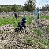willow planting.jpg