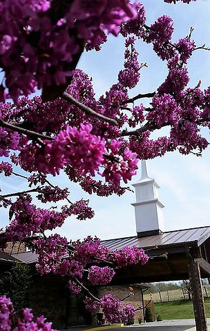 Blooming redbud and steeple