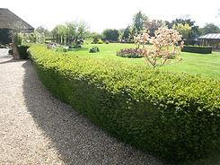 lonicera hedge.jpg