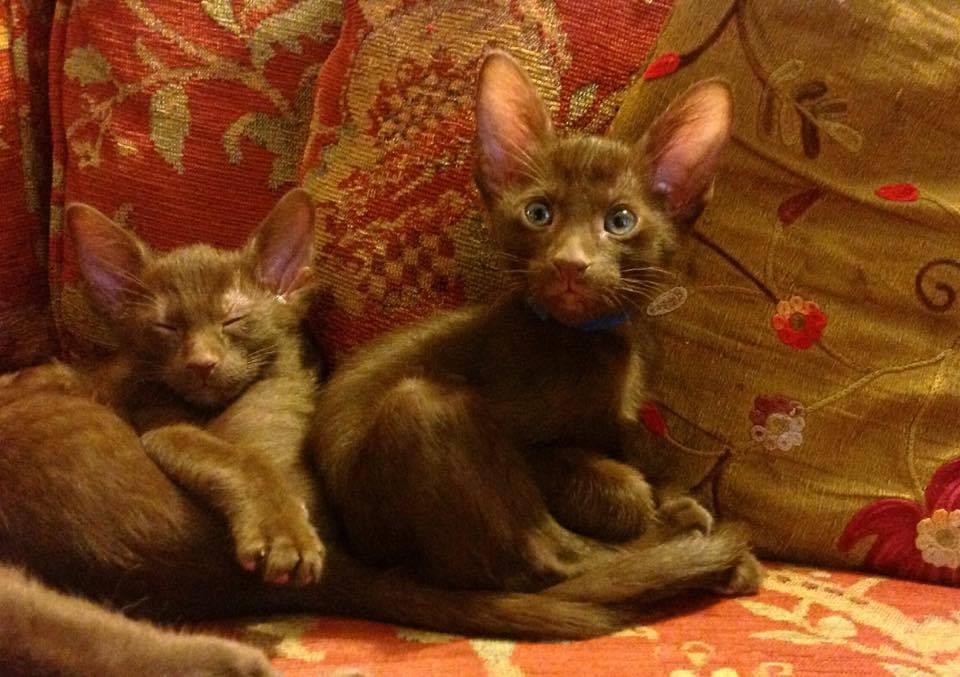 Eastpoint Kitten