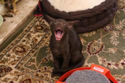 A tired litle Eastpoint Kitten
