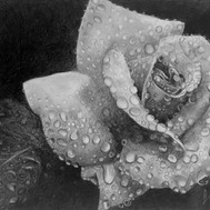 White Rose with Rain Drops
