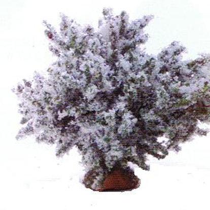 Bush-White