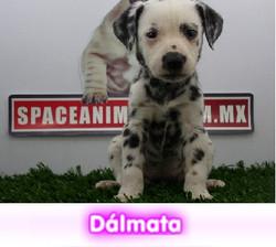 Dalmata  cachorros perros en compra venta criadero spaceanimals