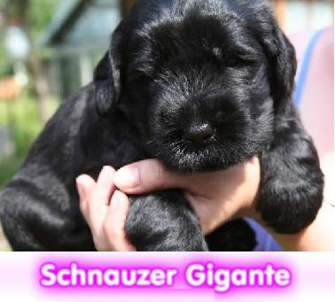 schnauzer GIGANTE  cachorros perros en compra venta criadero spaceanimals