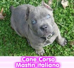 CANE CORSO cachorros perros en compra venta criadero spaceanimals