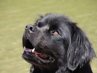 Terranova: ¡el perro más grande del mundo!