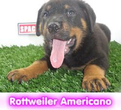 rottweiler americana cachorros perros en compra venta criadero spaceanimals - copia