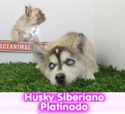 husky siberiano negro platinado  cachorros perros en compra venta criadero spaceanimals - copia