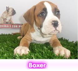 Boxer  cachorros perros en compra venta criadero spaceanimals - copia