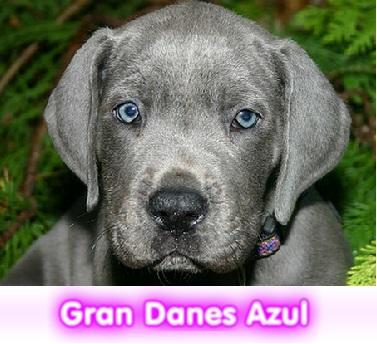 gran danes azul blue  cachorros perros en compra venta criadero spaceanimals