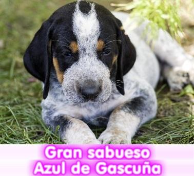 gran_sabuezo_azul_de_gascuña_cachorros_perros_en_compra_venta_criadero_spaceanimals__cachorros_perro