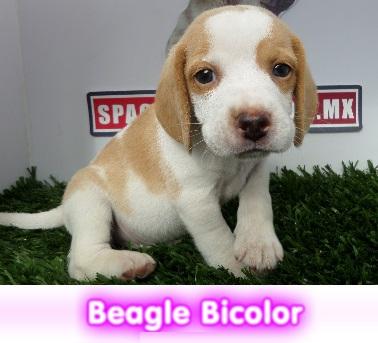 Beagle bicolor   cachorros perros en compra venta criadero spaceanimals