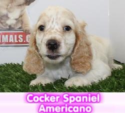 cocker americano cachorros perros en compra venta criadero spaceanimals