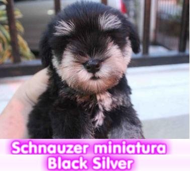 Schnauzer Black Silver cachorros perros en compra venta criadero spaceanimals