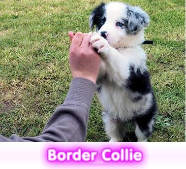 BORDER COLLIE cachorros perros en compra venta criadero spaceanimals