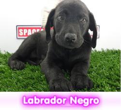 ladrador negro  cachorros perros en compra venta criadero spaceanimals