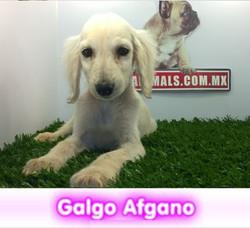 galgo afgano  cachorros perros en compra venta criadero spaceanimals