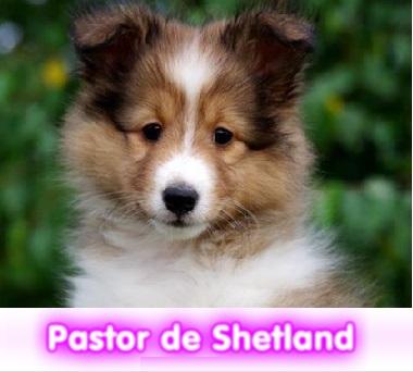 Pastor de Shetland  cachorros perros en compra venta criadero spaceanimals