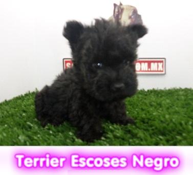 terrier escoces negro  cachorros perros en compra venta criadero spaceanimals