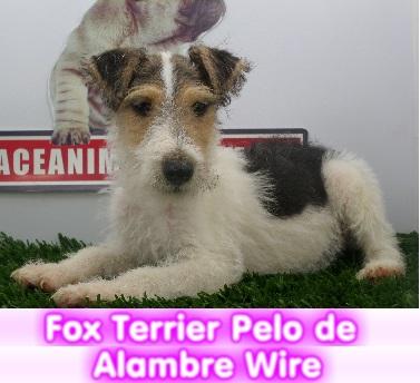 fox terrier wire   cachorros perros en compra venta criadero spaceanimals
