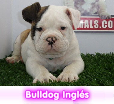 bulldog ingles  cachorros perros en compra venta criadero spaceanimals