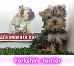 Yorkshire terrier miniatura cachorros perros en compra venta criadero spaceanimals