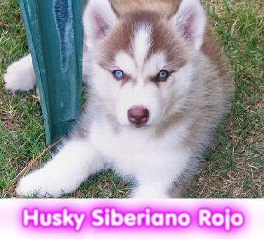 husky siberiano rojo cachorros perros en compra venta criadero spaceanimals