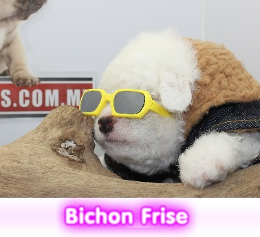 Bichon frisecriadero spaceanimals